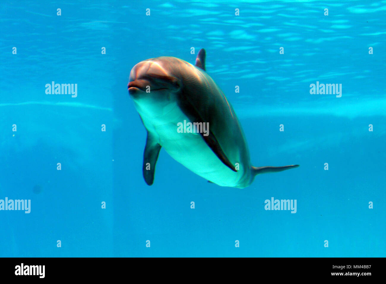 dolphins show at the riccione aquarium in italy Stock Photo
