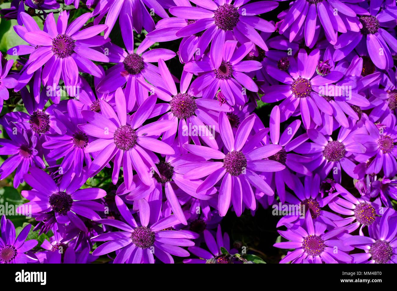 purple flowering senetti flowers, norfolk, england - Stock Image