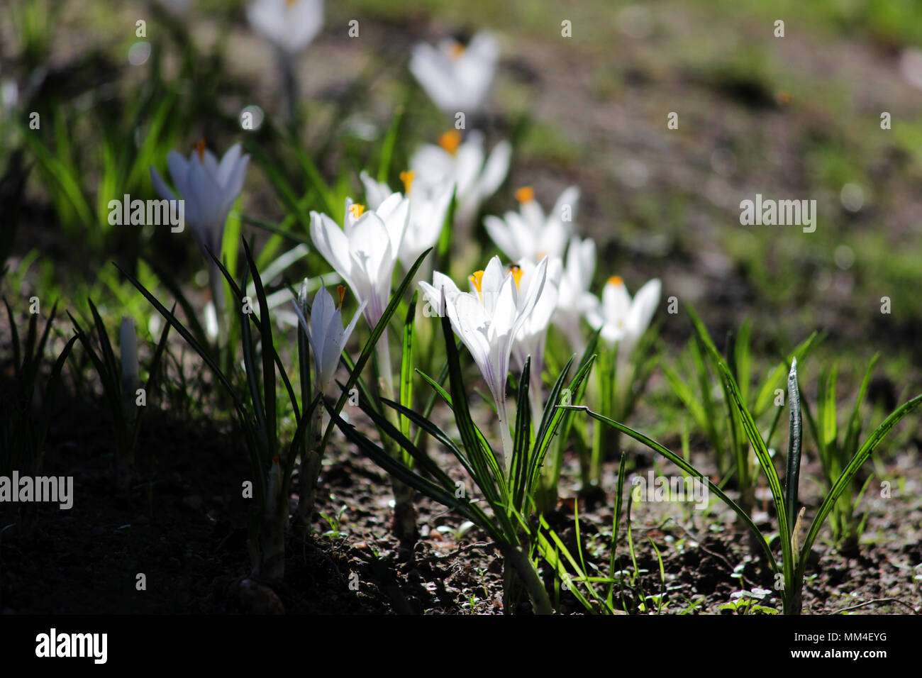 Plural White Crocuses Or Croci In Backlight Is A Genus Of Flowering