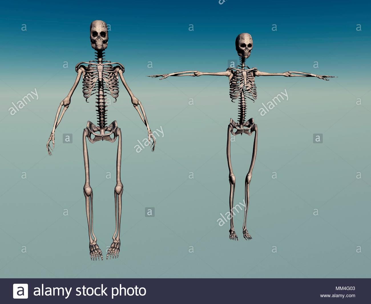 Male & Female Human Skeletons Stock Photo: 184497155 - Alamy