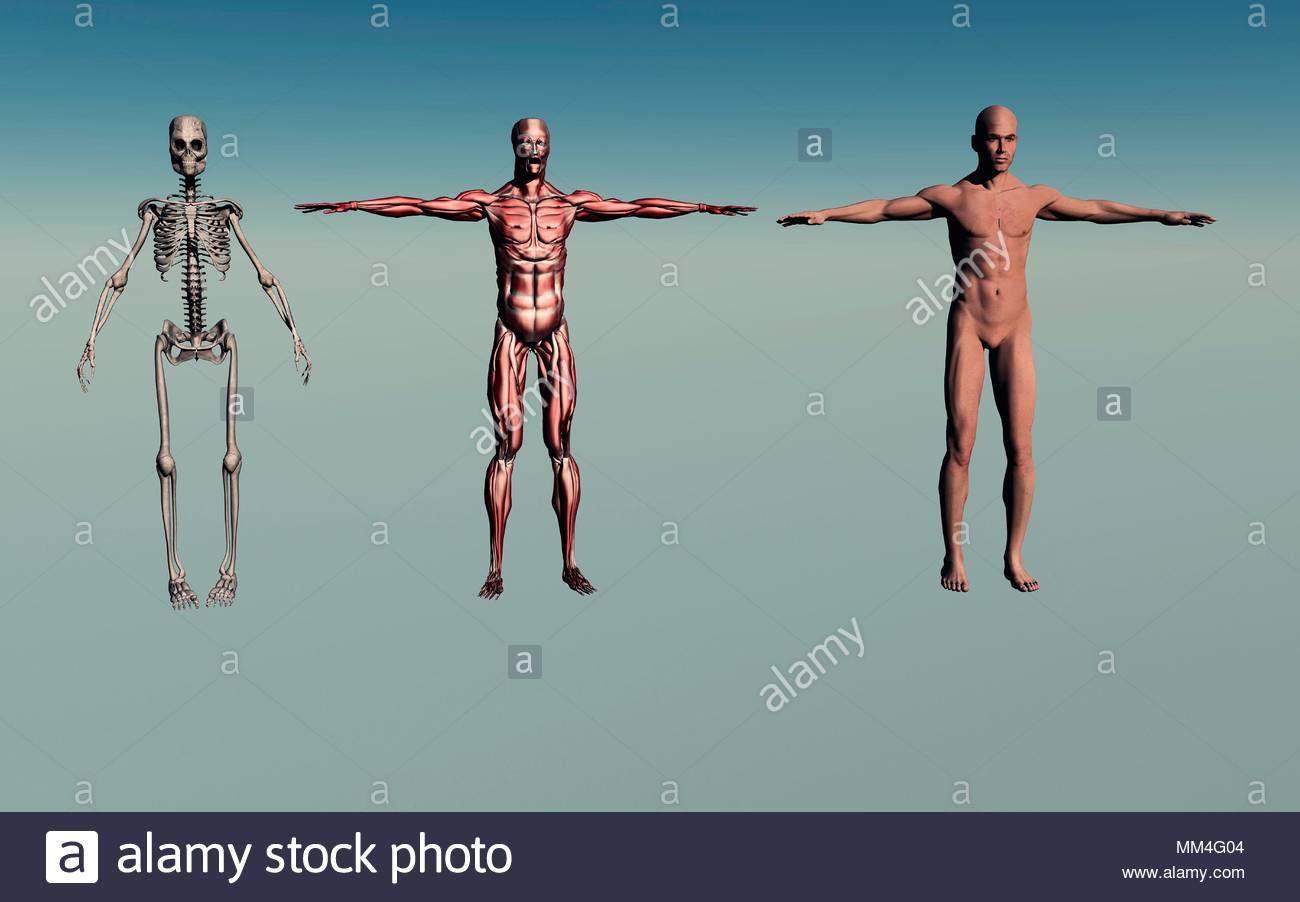 Adult Male Human Anatomy Stock Photo: 184497156 - Alamy