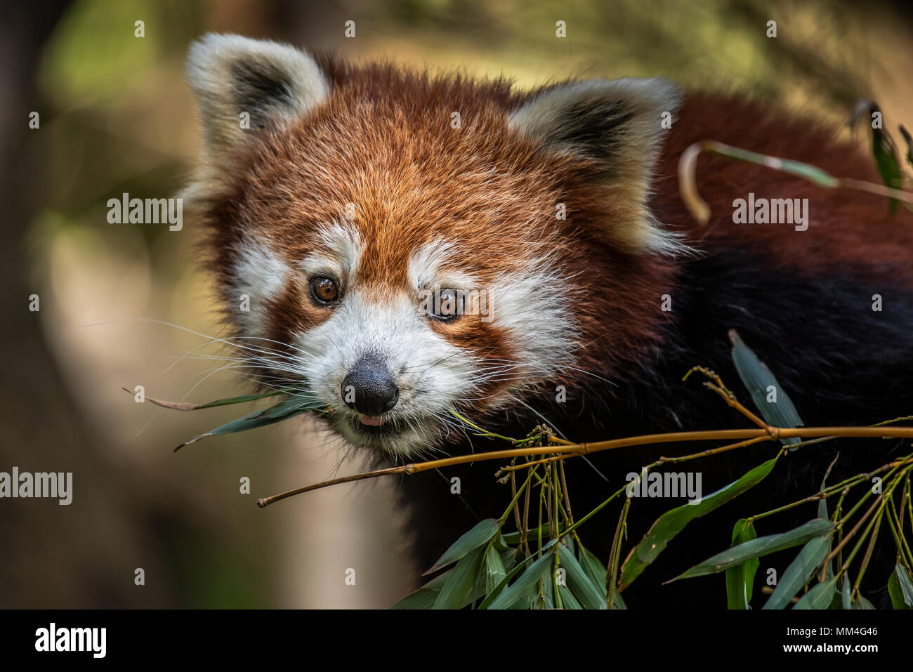 The Red Panda or also known as the Red Cat-Bear. It is slightly larger than a domestic cat and is mosty found in the Eastern Himalaya's - Stock Image