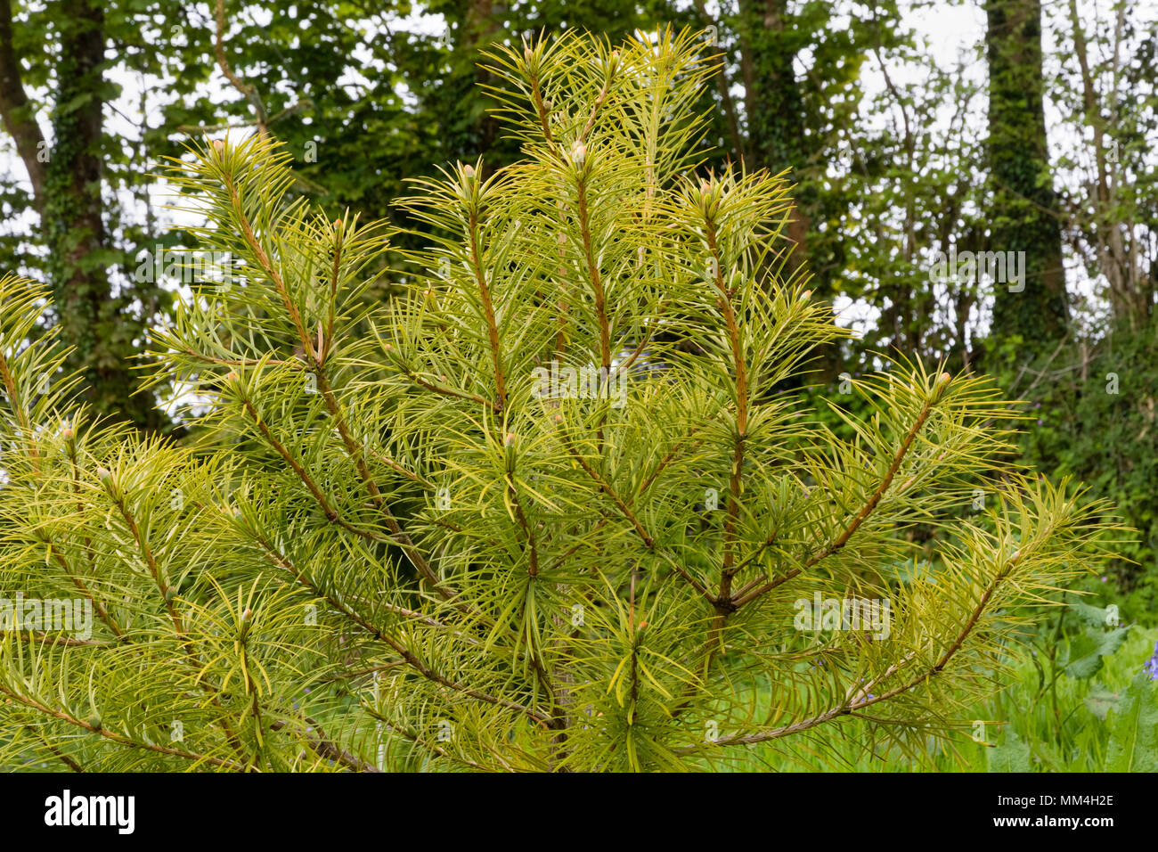 Young specimen of the endangered conifer Cathaya argyrophylla in the arboretum at The Garden House, Buckland Monachorum, Devon, UK - Stock Image