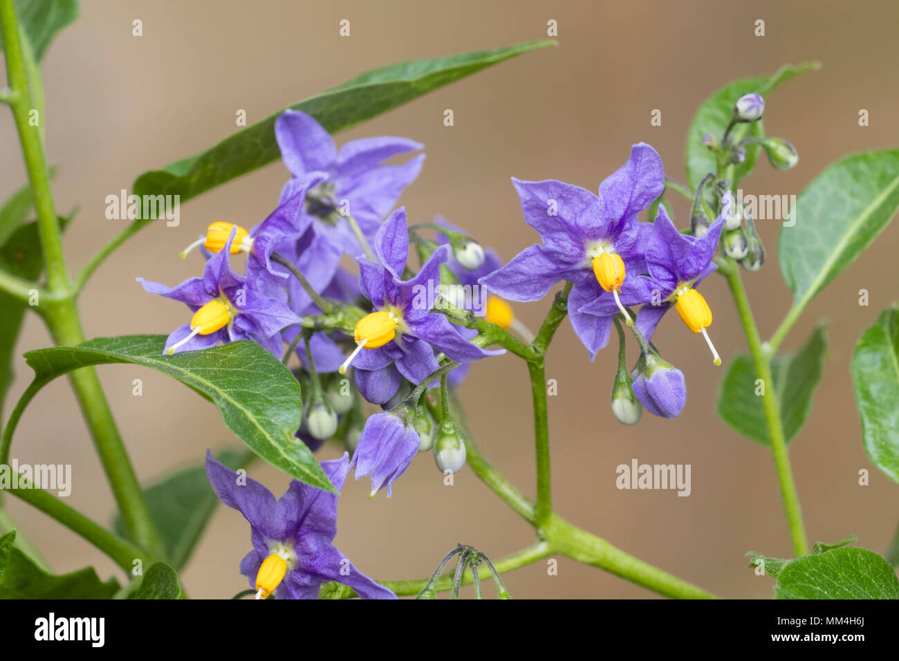 Blue-violet flowers of the hardy, semi evergeen potato vine, Solanum crispum 'Glasnevin' - Stock Image