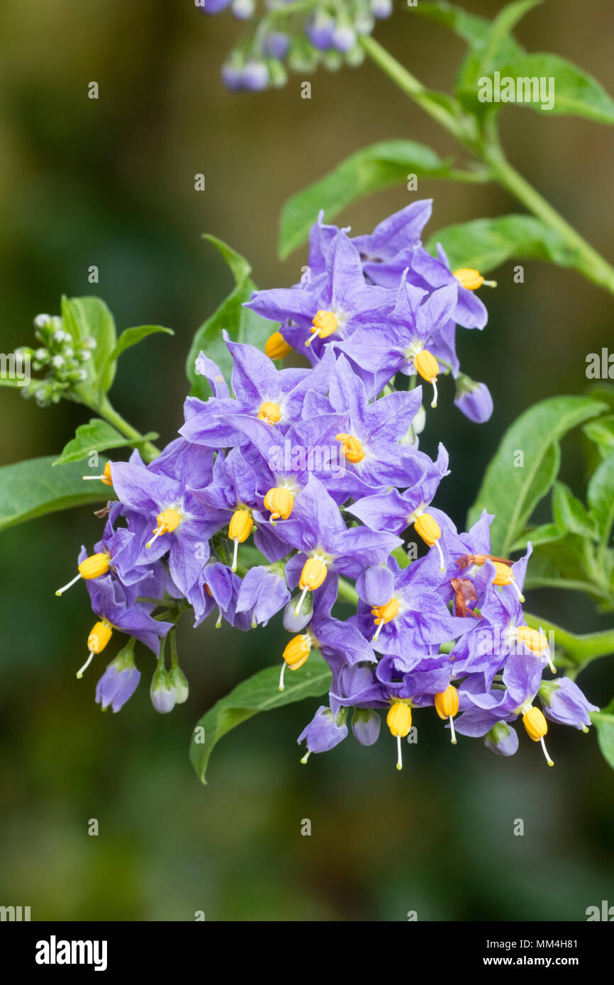 Blue Violet Flowers Of The Hardy Semi Evergeen Potato Vine Solanum