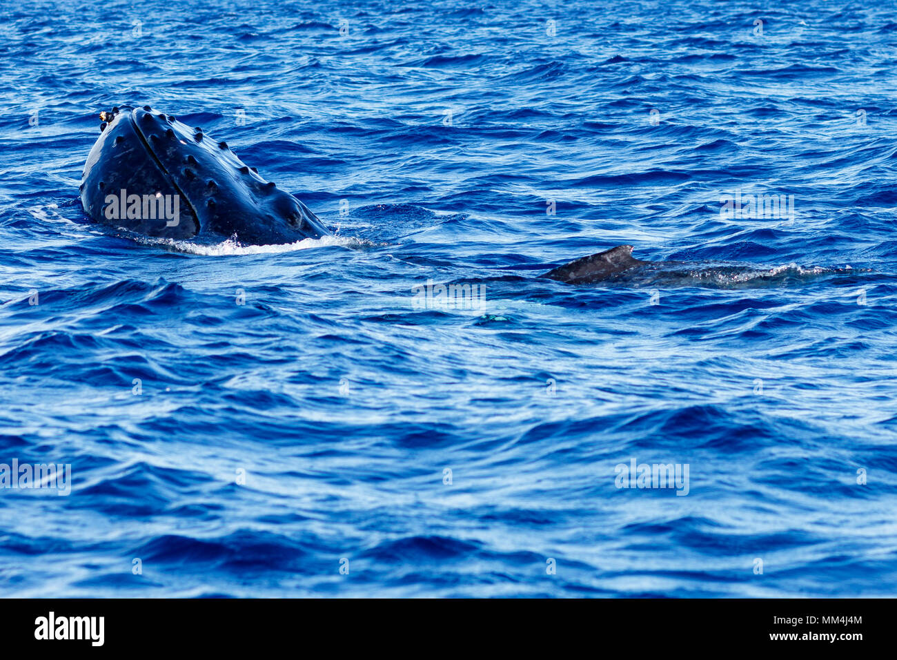Humpback whale spyhopping in Lahaina, Maui,  Hawaii, Winter - Stock Image