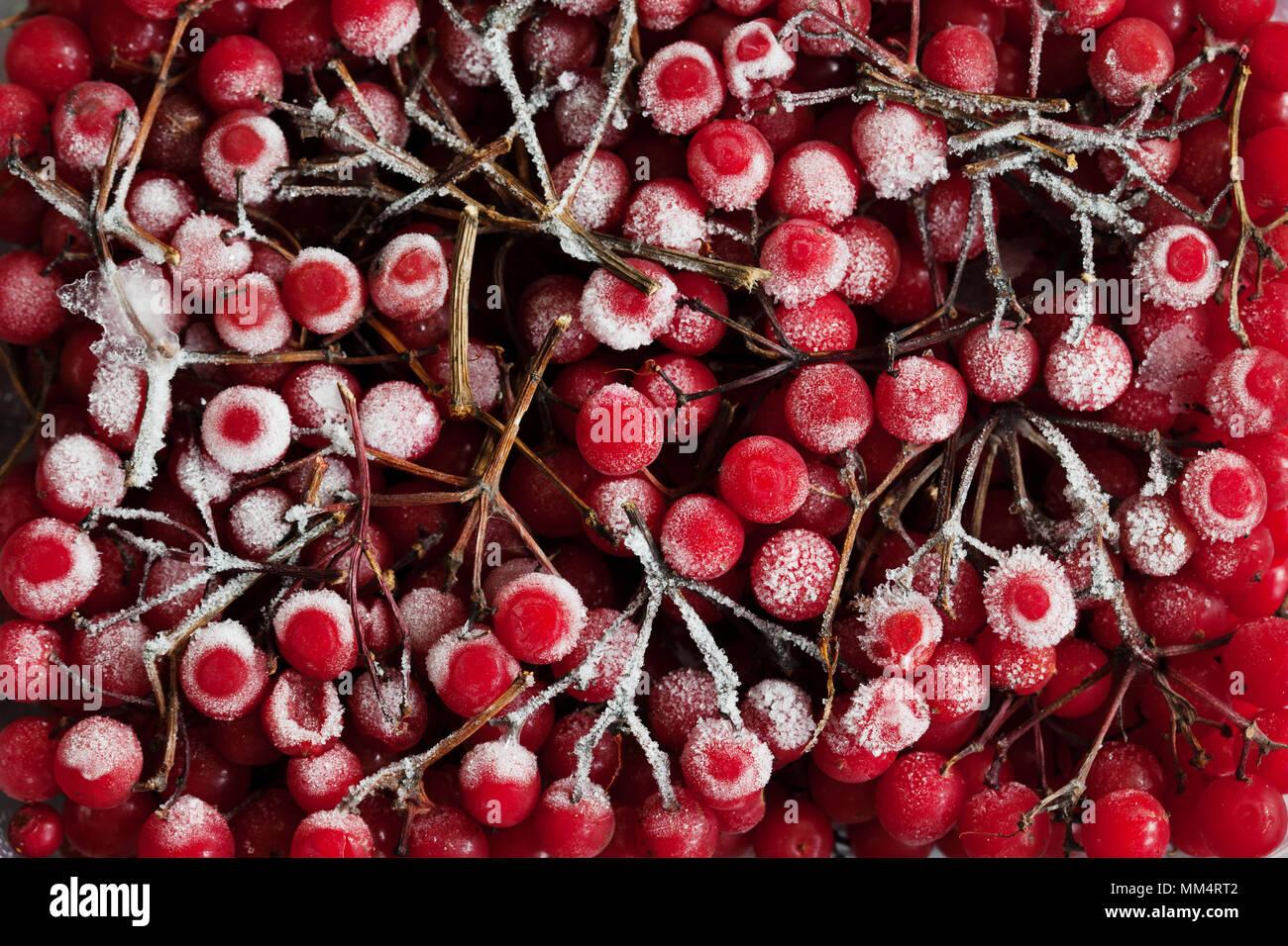 Red ripe frozen viburnum in store, Viburnum opulus from above - Stock Image