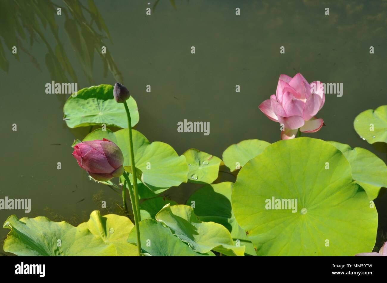 Pink Lotus (Hong Xu Yu) Stock Photo