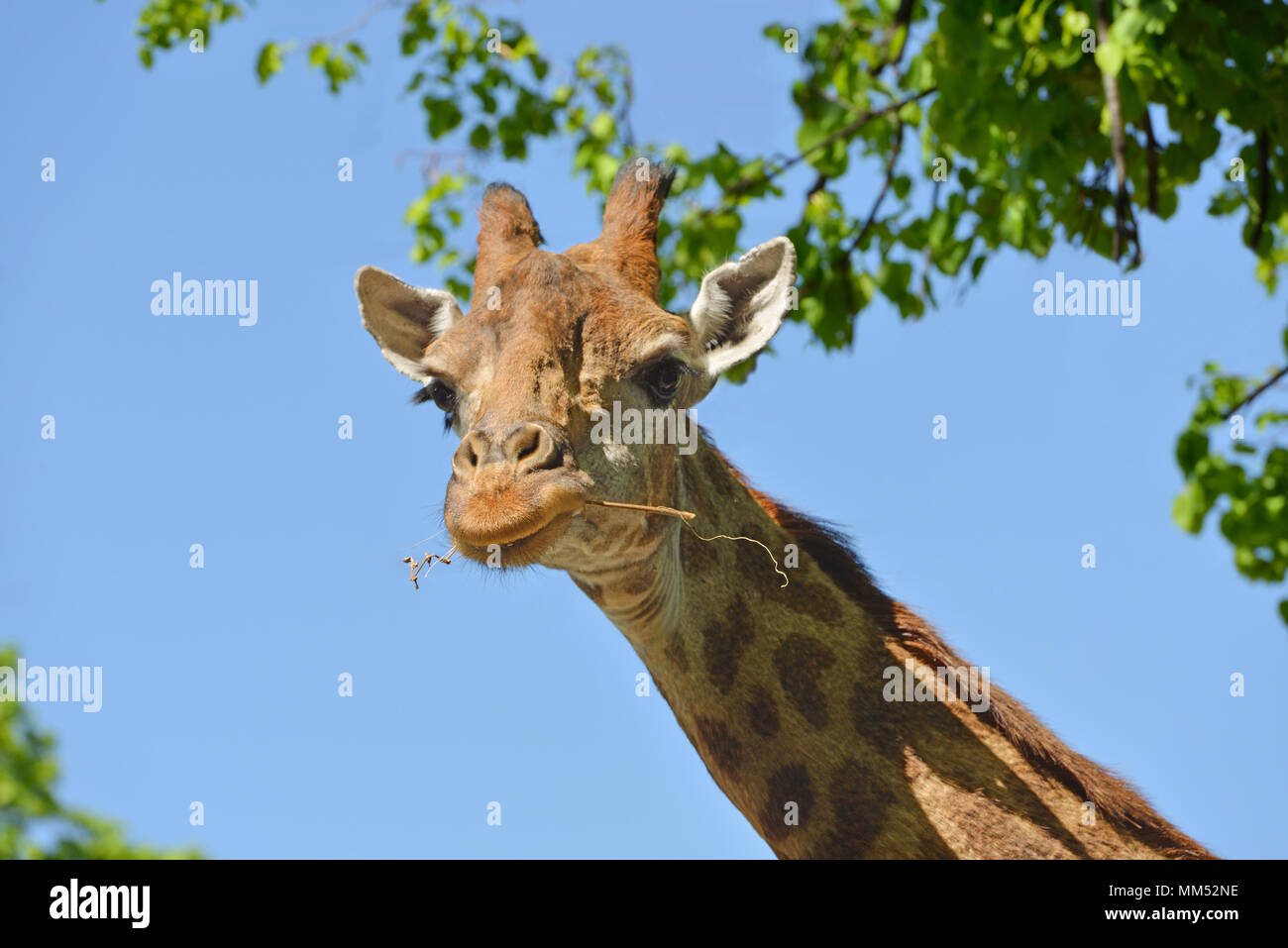 Giraffe (Giraffa camelopardalis giraffa). Portrait on blue sky background - Stock Image
