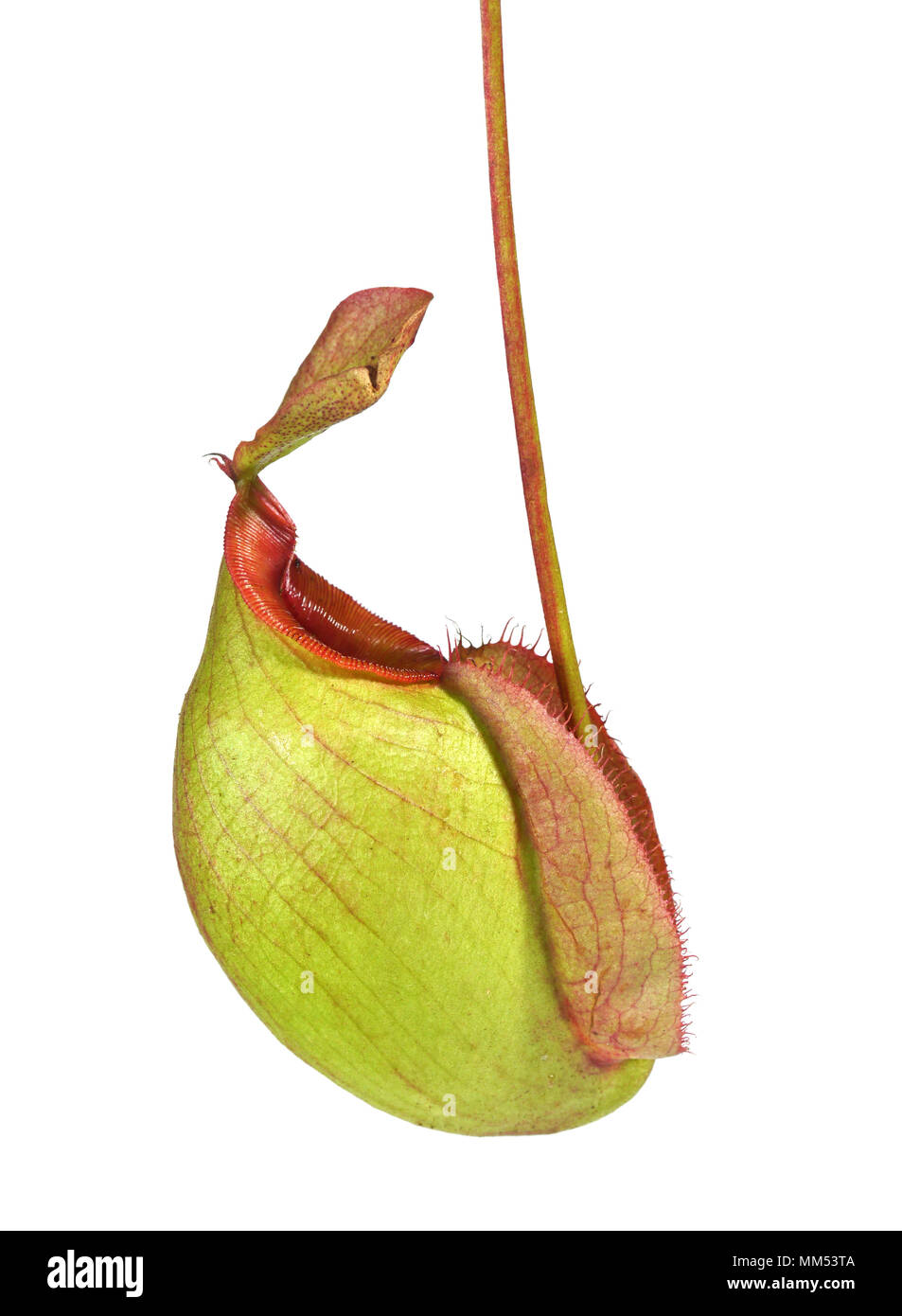 Nepenthes ampullaria - Stock Image