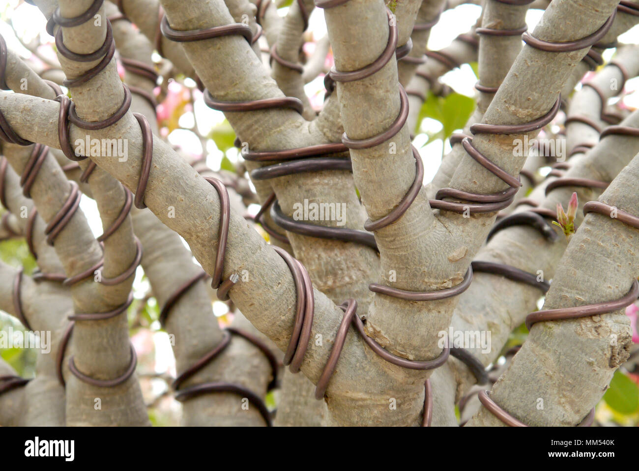 Pleasant Bonsai Tree Wrapped Wire Stock Photo 184509715 Alamy Wiring 101 Mecadwellnesstrialsorg