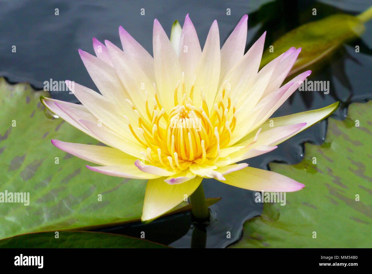 Lotus Flower Stock Photo 184510004 Alamy