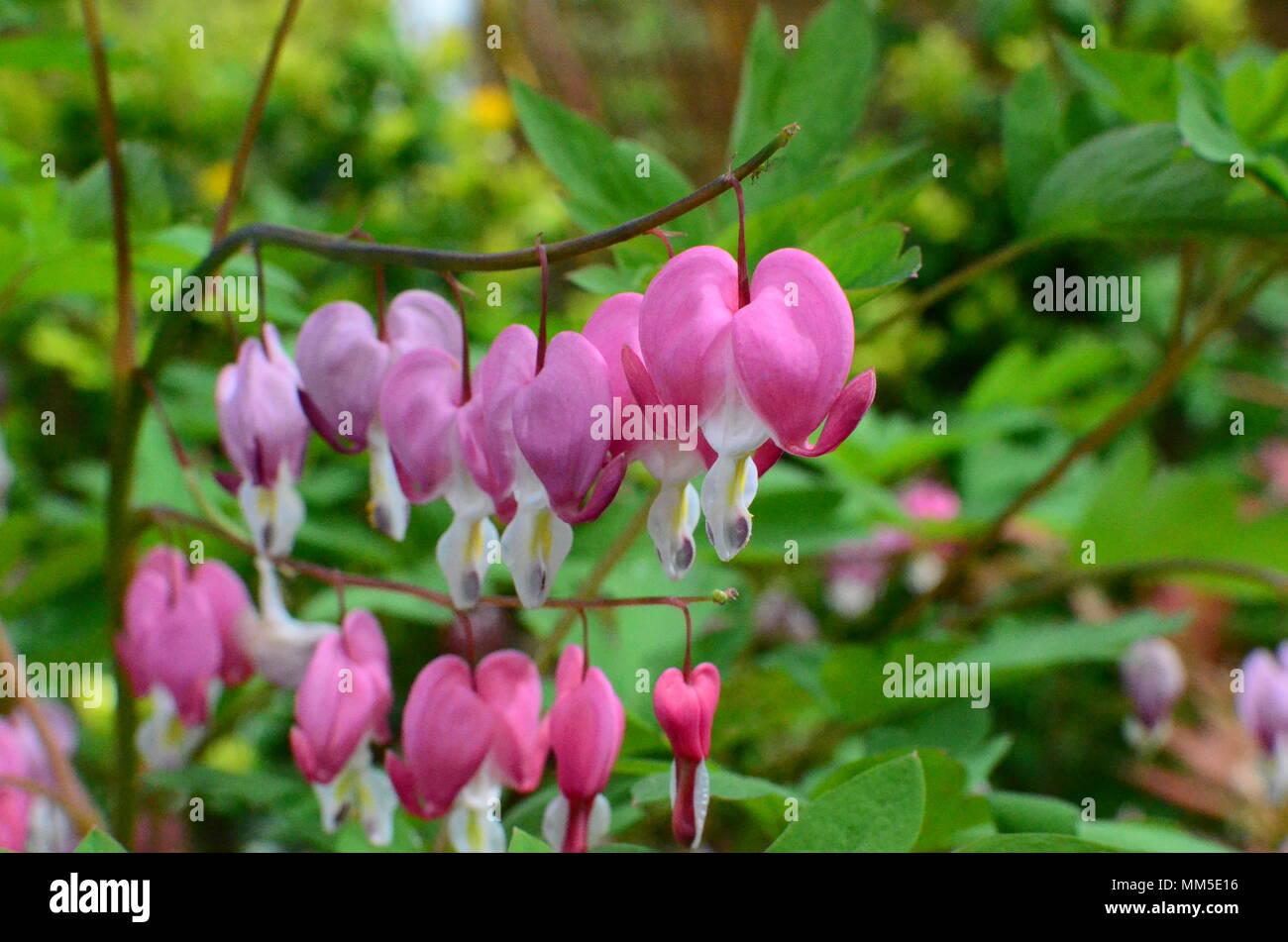 White Bleeding Heart Plant Heart Shaped Flowers Stock Photo
