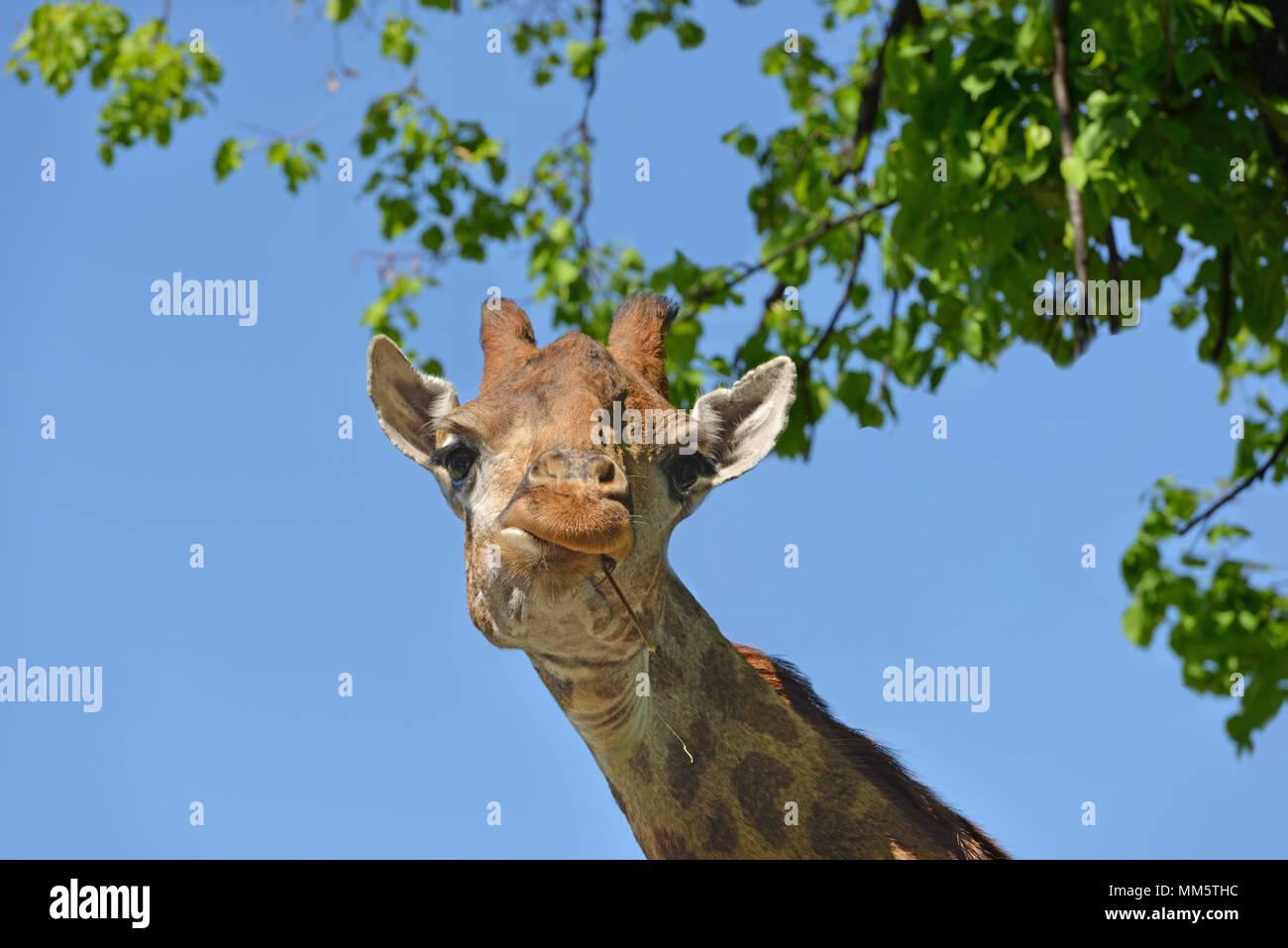 Giraffe (Giraffa camelopardalis giraffa). Portrait - Stock Image