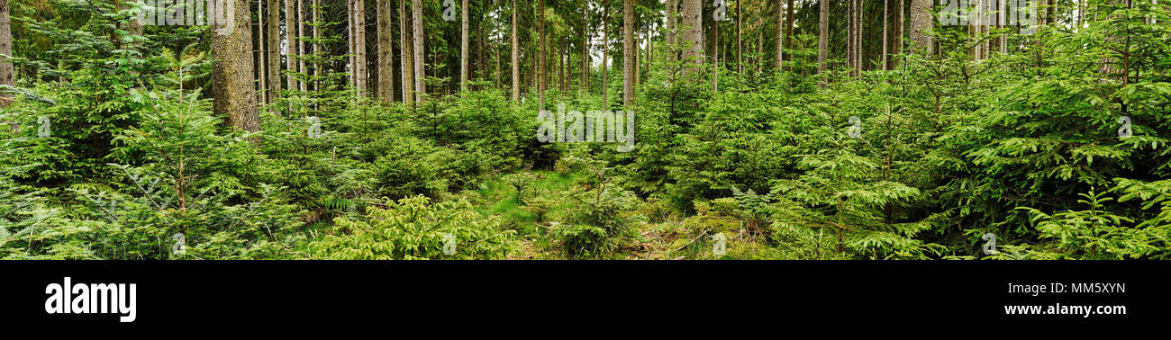 Green forest with firs and spruces as panorama - Stock Image