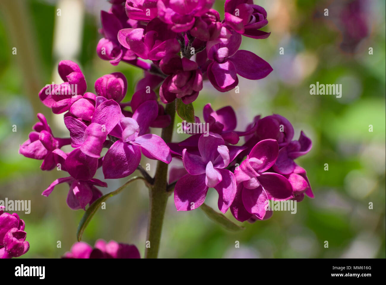 Charles Jolly Lilac - Stock Image