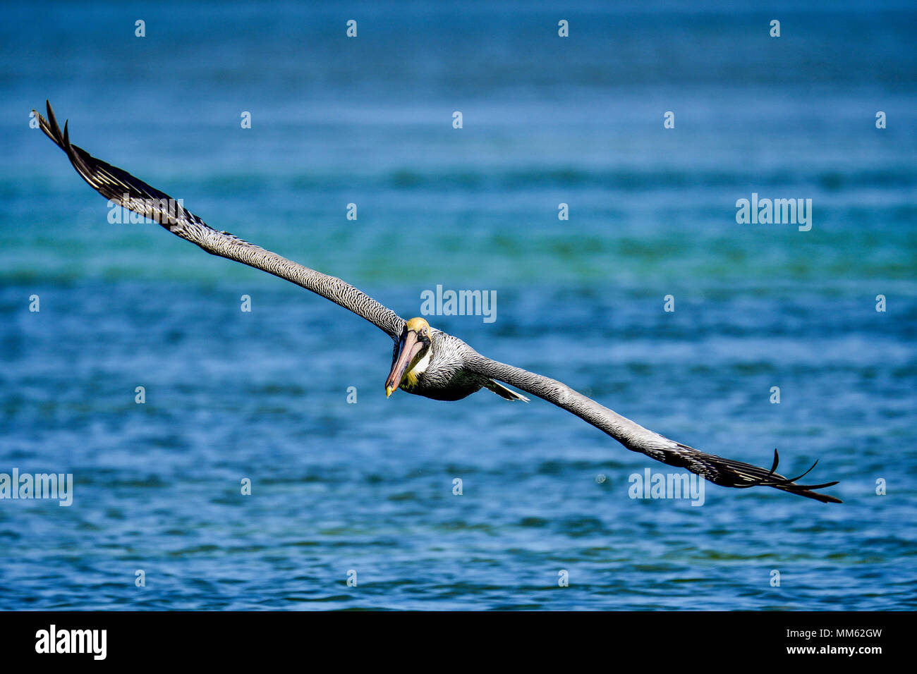 Brown pelican with fully extended wings. - Stock Image