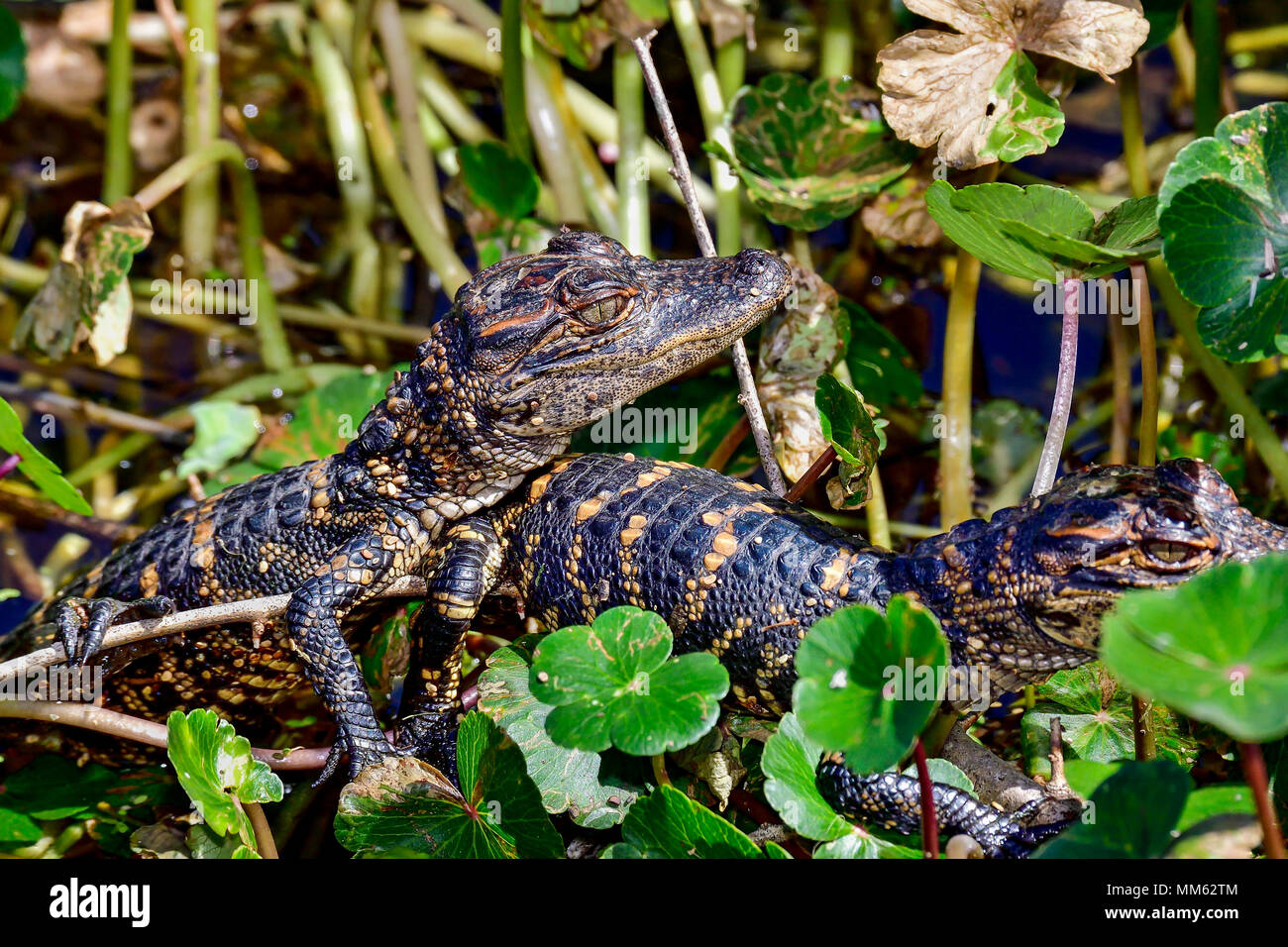 American alligator babies hiding in vegetation. Stock Photo
