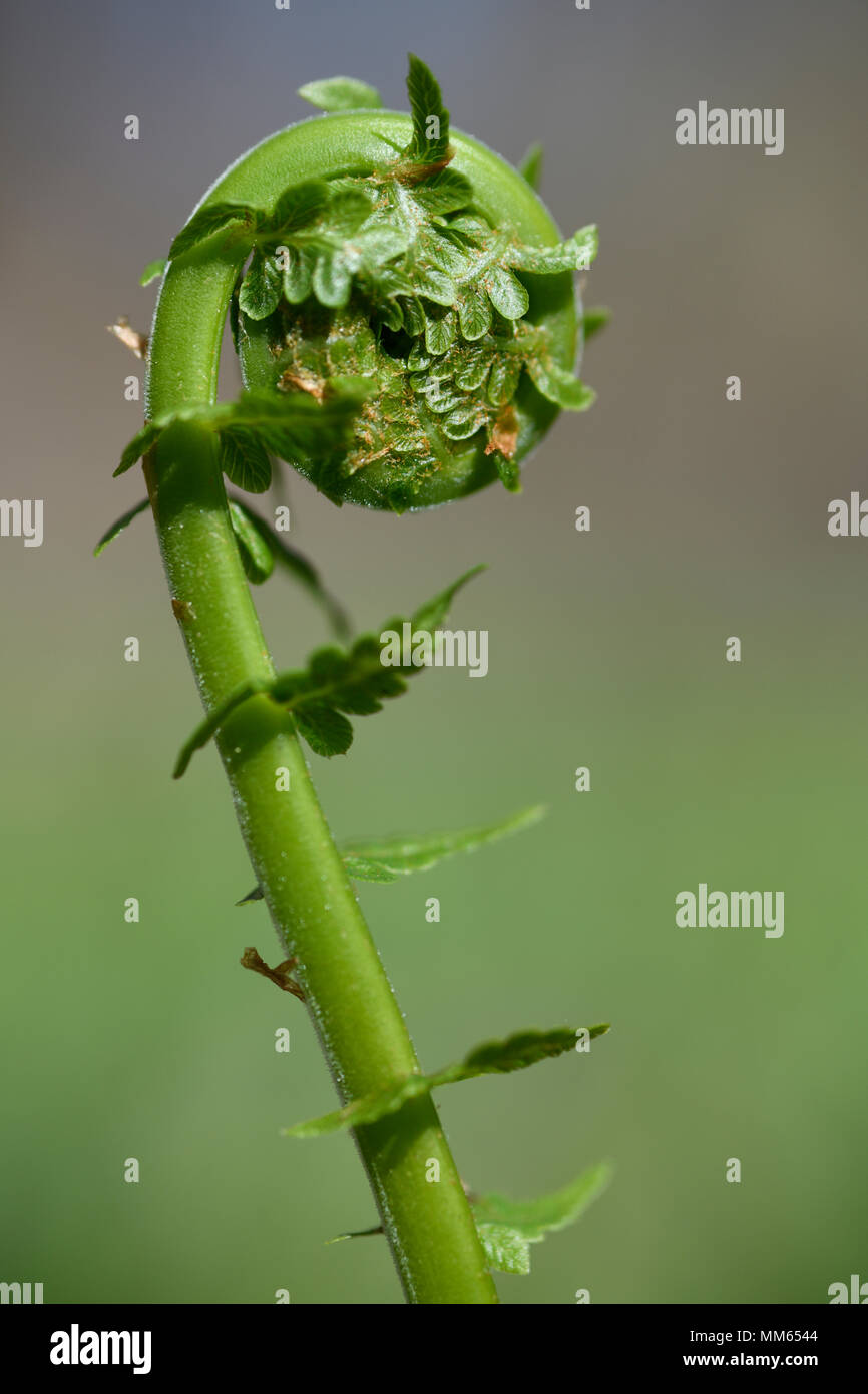 Close up of uncurling Matteuccia struthiopteris Ostrich Fern fiddlehead in a Spring forest with tiny leaves - Stock Image