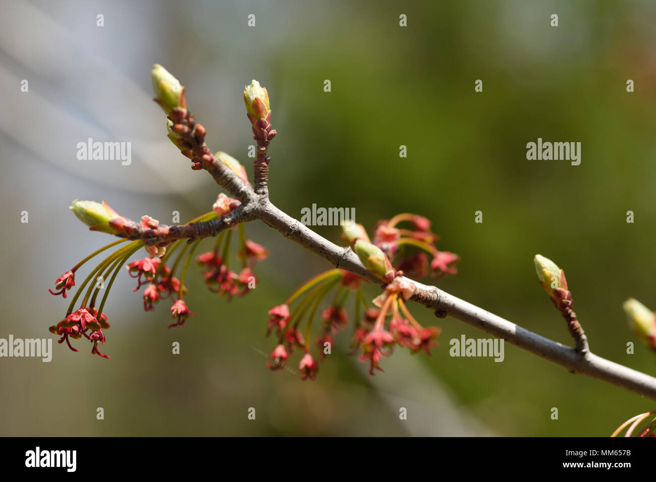 Close up of Acer Rubrum Redpointe Red Maple tree flowers with early leaf buds in Spring - Stock Image