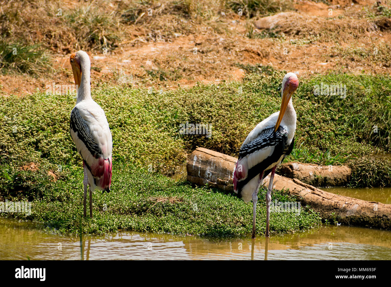 A couples of painted storks bird standing on steady at muddy water for fish close view. Stock Photo