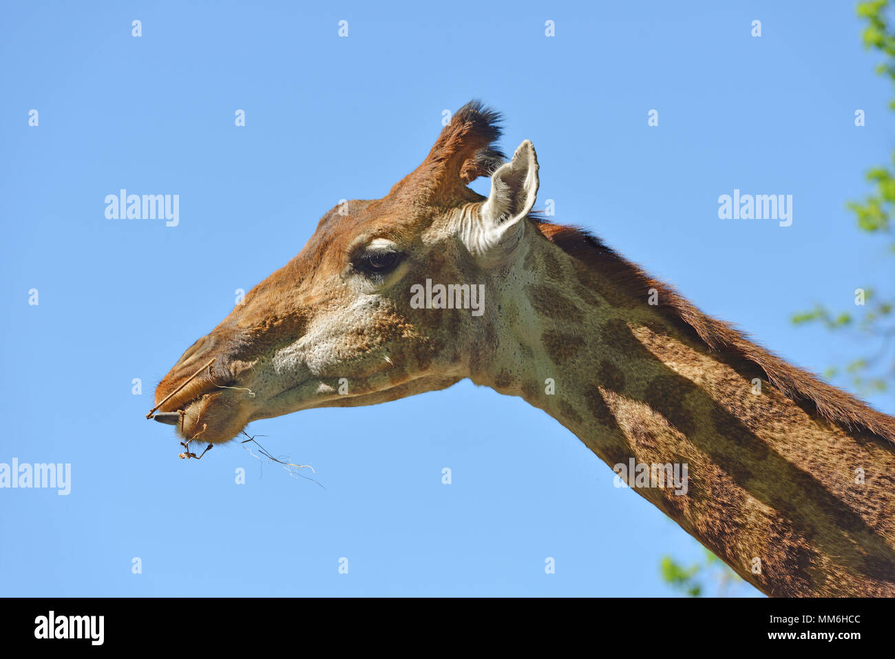 Giraffe (Giraffa camelopardalis giraffa). Beautiful portrait against blue sky - Stock Image