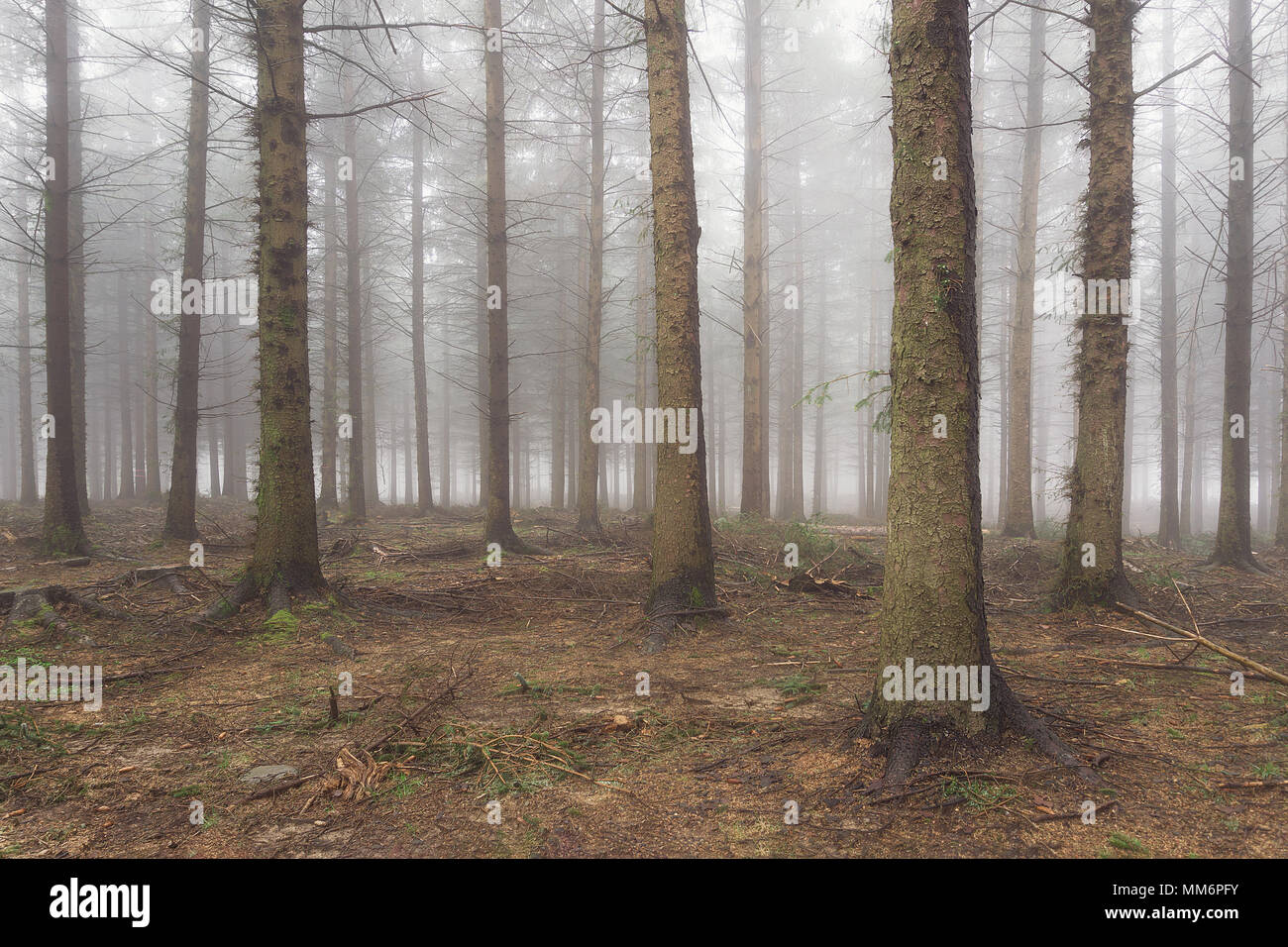 conifer forest with bare tree trunks in winter - Stock Image