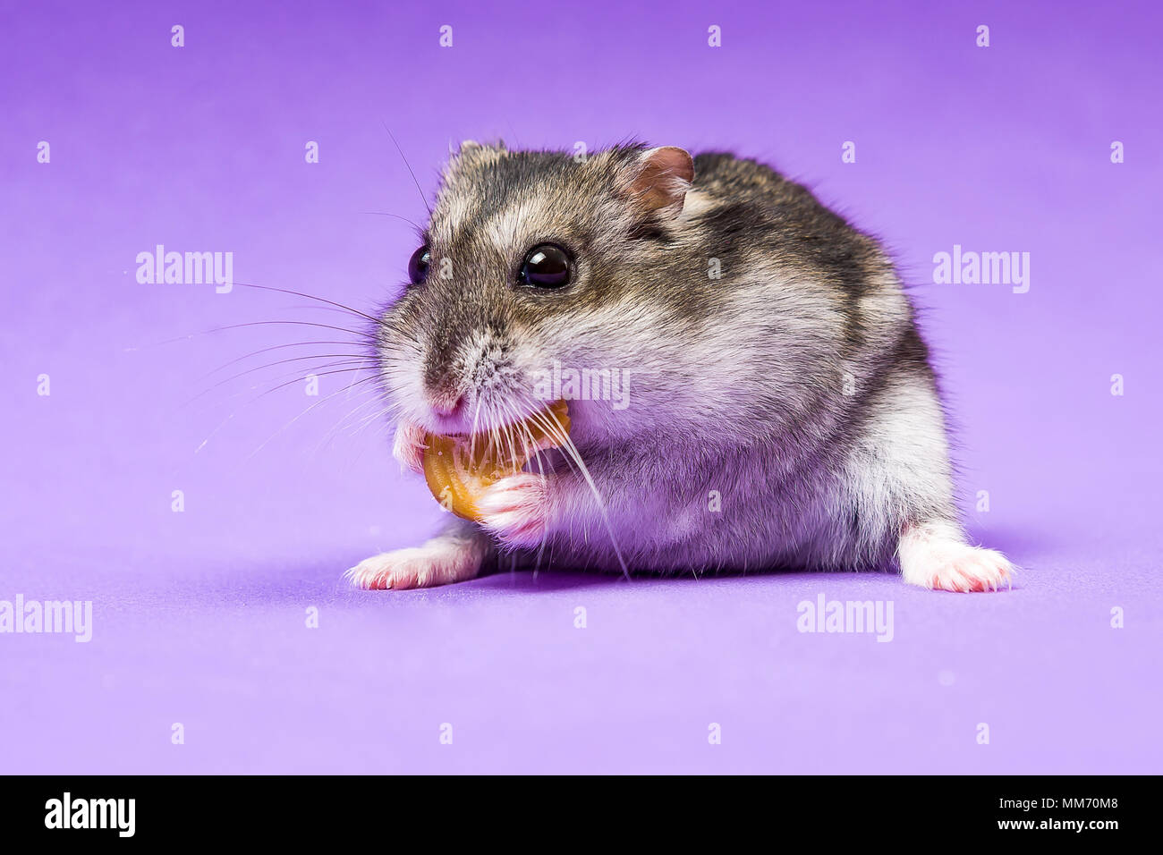 Hamster Cheeks Stock Photos & Hamster Cheeks Stock Images