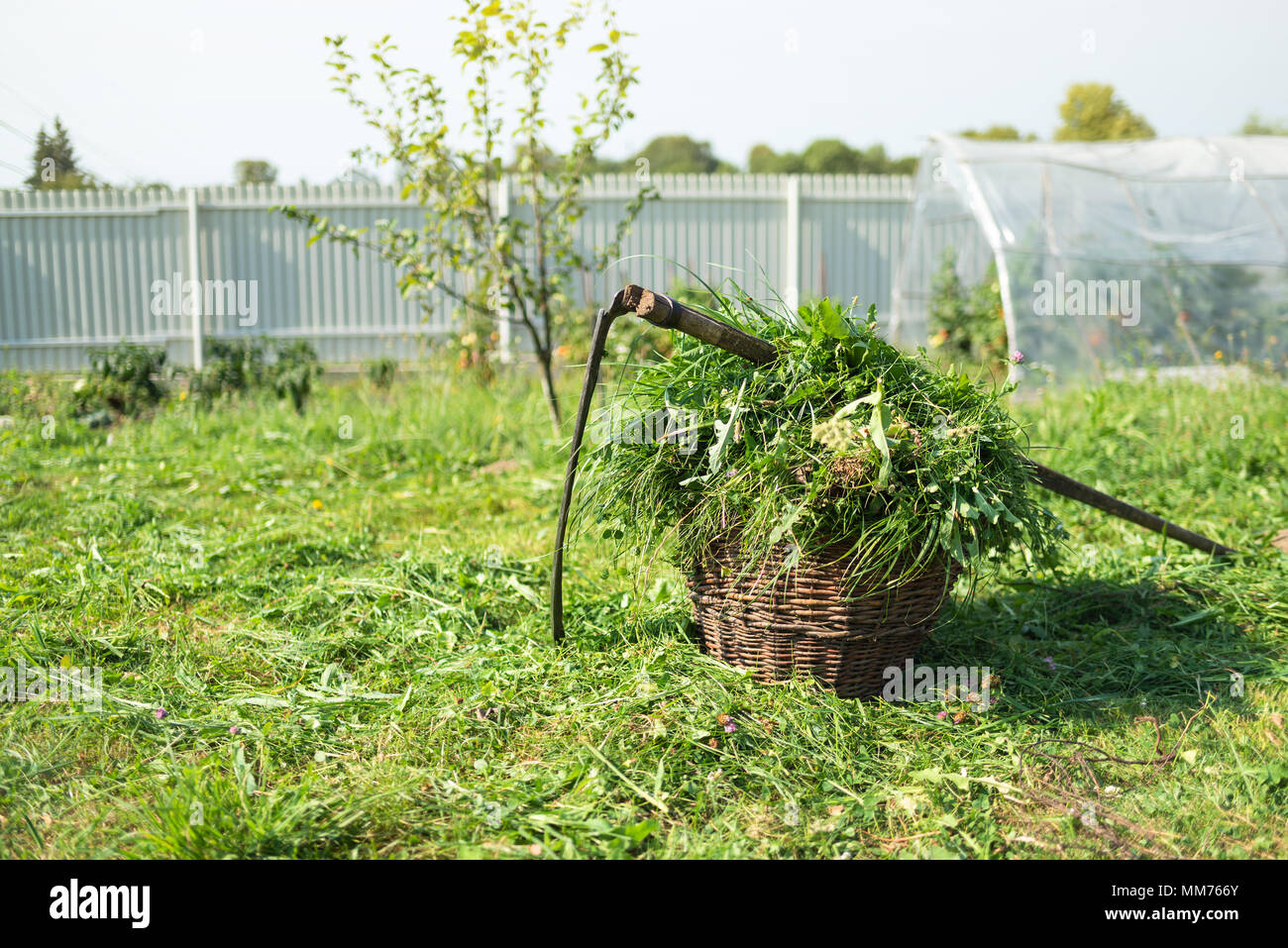 Fresh grass in a basket and outdated hand tool - scythe - Stock Image