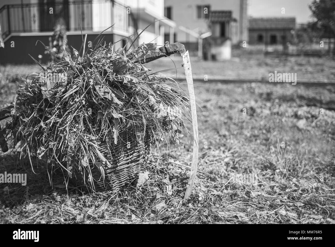 Fresh grass in a basket and outdated hand tool - scythe, monochrome effect, monochrome effect - Stock Image