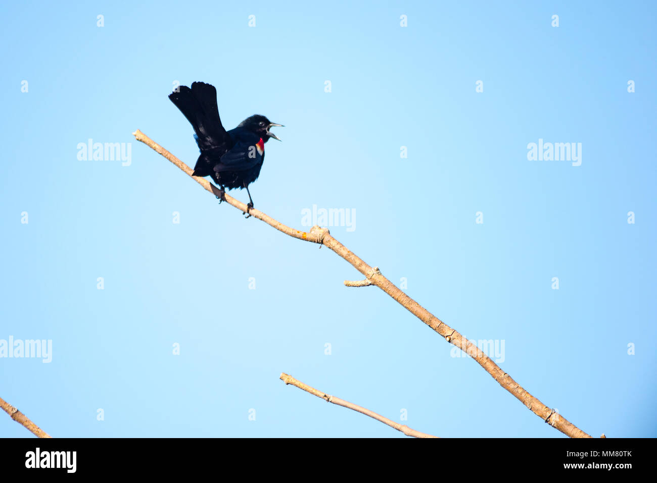 red-winged blackbird singing on barren tree branch - Stock Image
