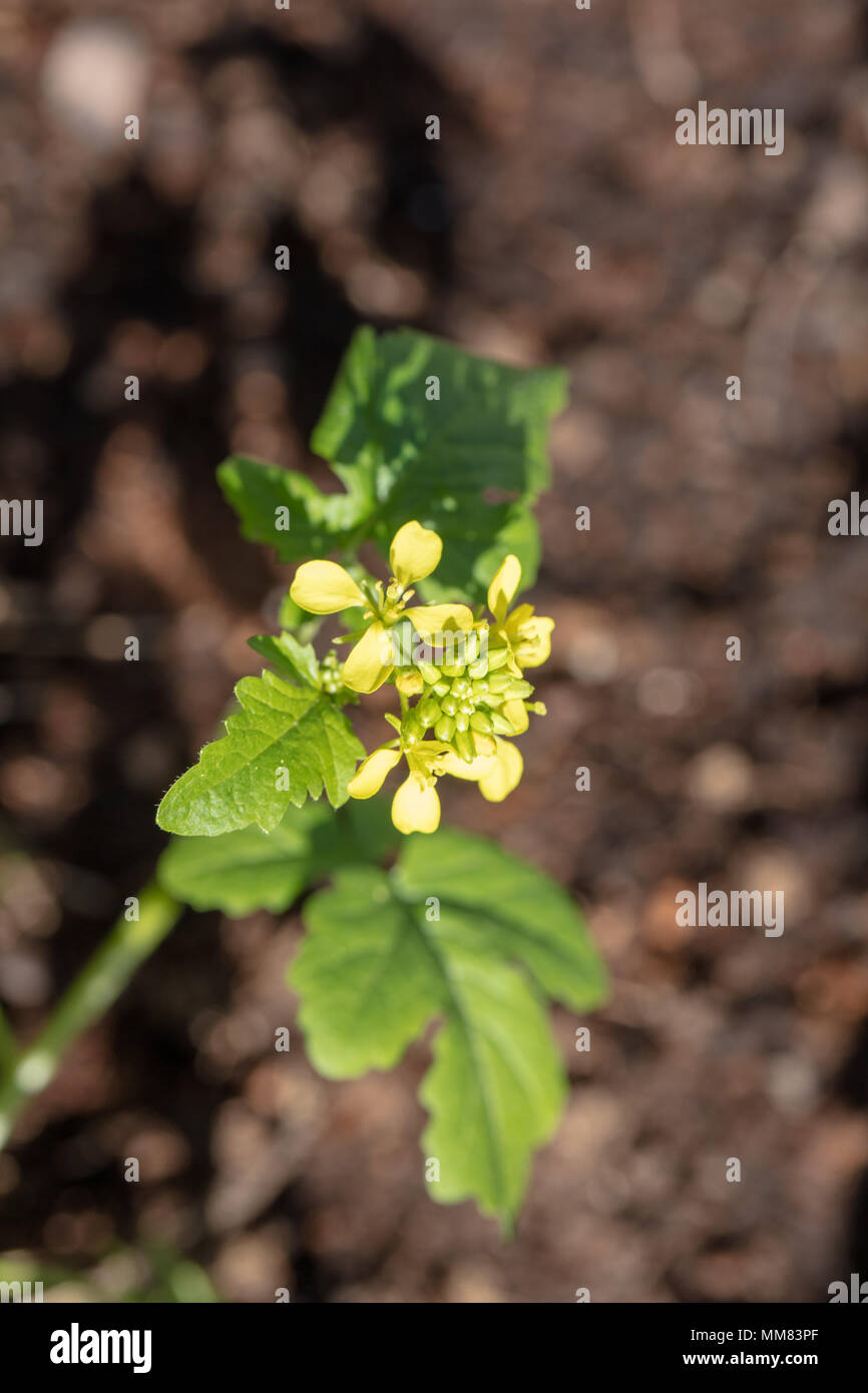 White Mustard, Vitsenap (Sinapis alba) - Stock Image