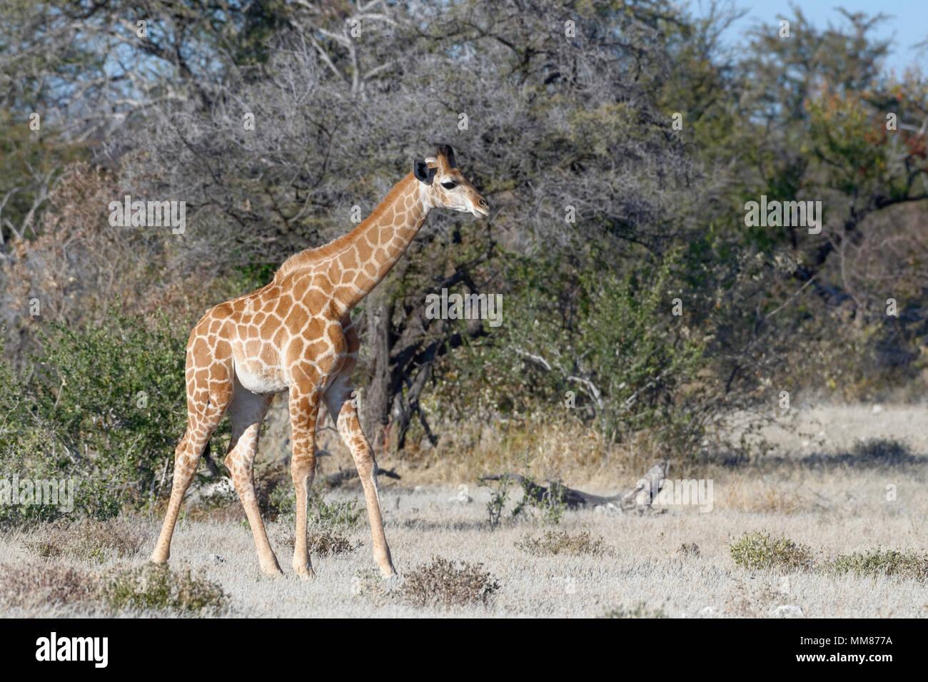 Namibian giraffe or Angolan giraffe (Giraffa camelopardalis angolensis), young animal standing, motionless, Etosha National Park, Namibia, Africa - Stock Image