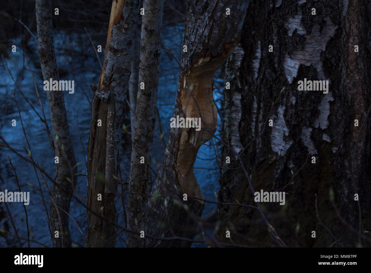 Tree eaten by beavers, next to a river in northern Sweden. River visible in the background, birch tree next to the eaten tree. - Stock Image