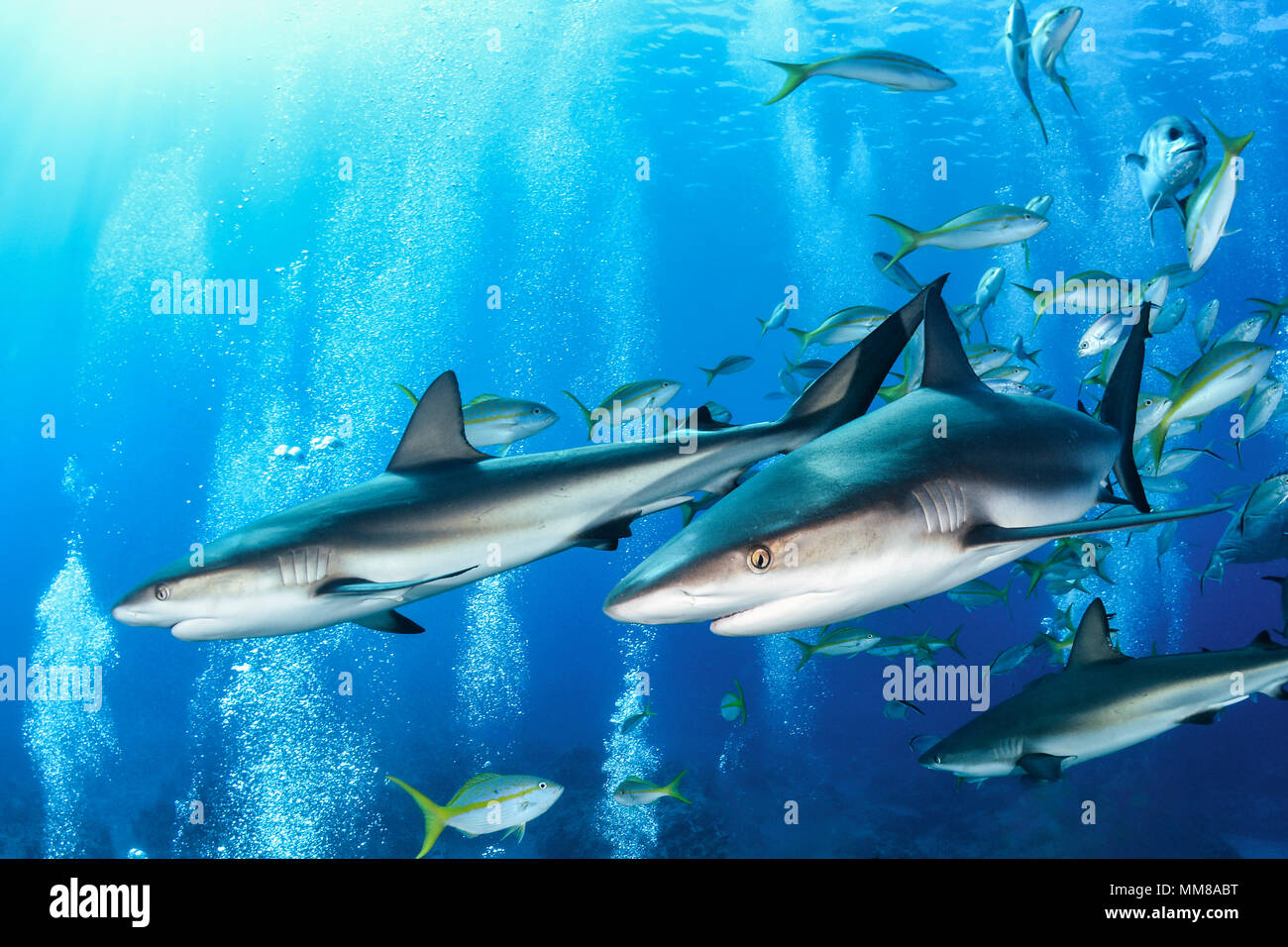 School of sharks in the Bahamas - Stock Image