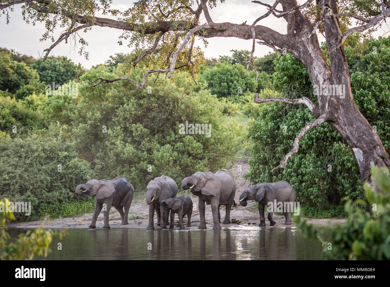A family of African bush elephants (Loxodonta africana) use their long trunks to take a drink from the Chobe River. Chobe National Park - Botswana - Stock Image