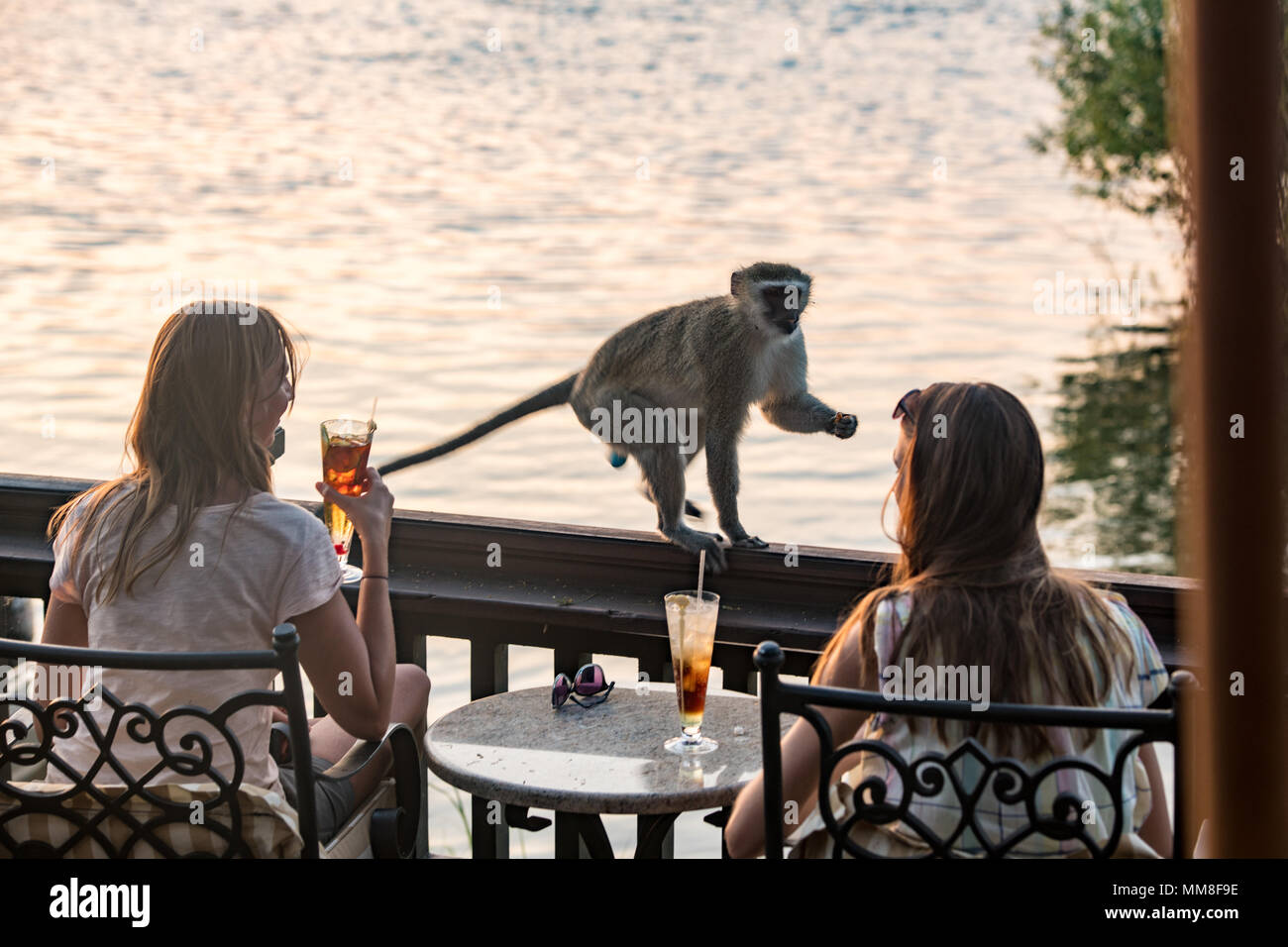 Two women on Zambezi River enjoy drinks as a Vervet monkey approaches them on the sundeck of the Royal Livingston Hotel Livingstone, Zambia - Stock Image
