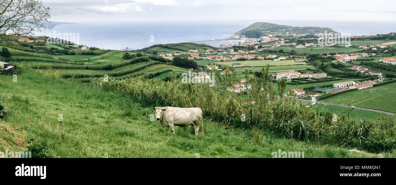 A panoramic view with a white cow on a pasture at Faial island, Azores. - Stock Image