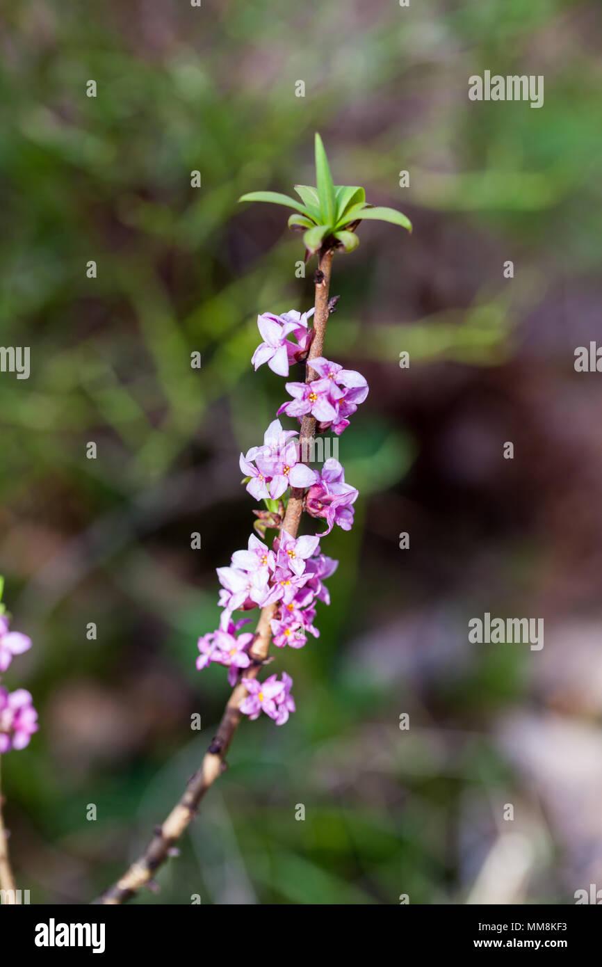 February daphne (Daphne mezereum) flowering - Stock Image