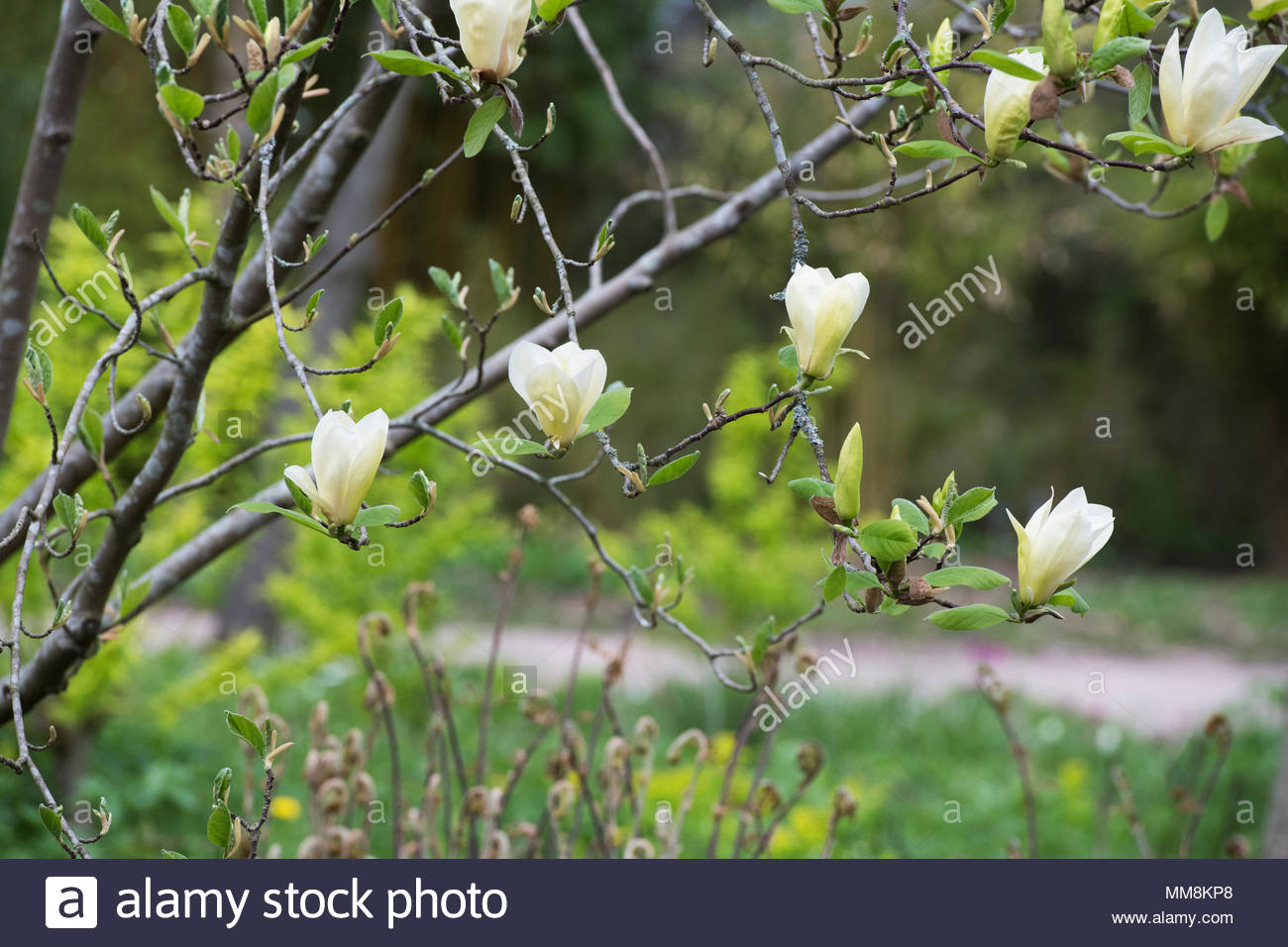 Magnolia Tree Spring Buds Stock Photos & Magnolia Tree Spring Buds ...