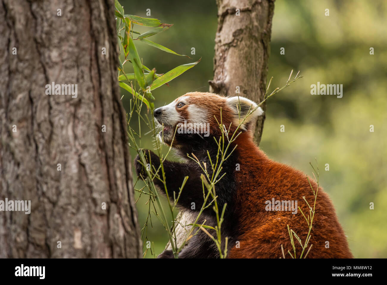 The Red Panda or also known as the Red Cat-Bear. Slightly larger than domestic cats it is mosty found in the Eastern Himalaya's - Stock Image