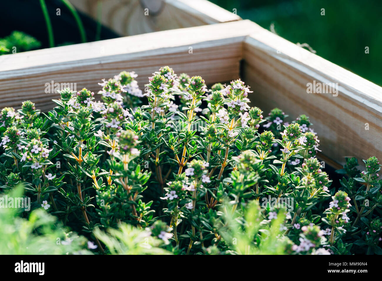 Closeup of blooming thyme herbs - Stock Image