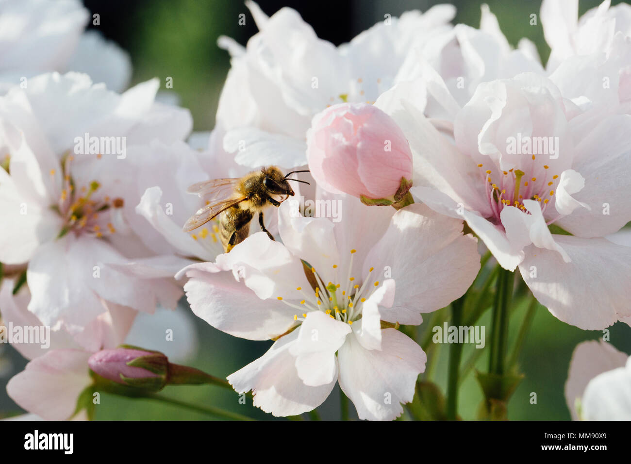 Close up of a bee pollinating cherry tree flowers - Stock Image