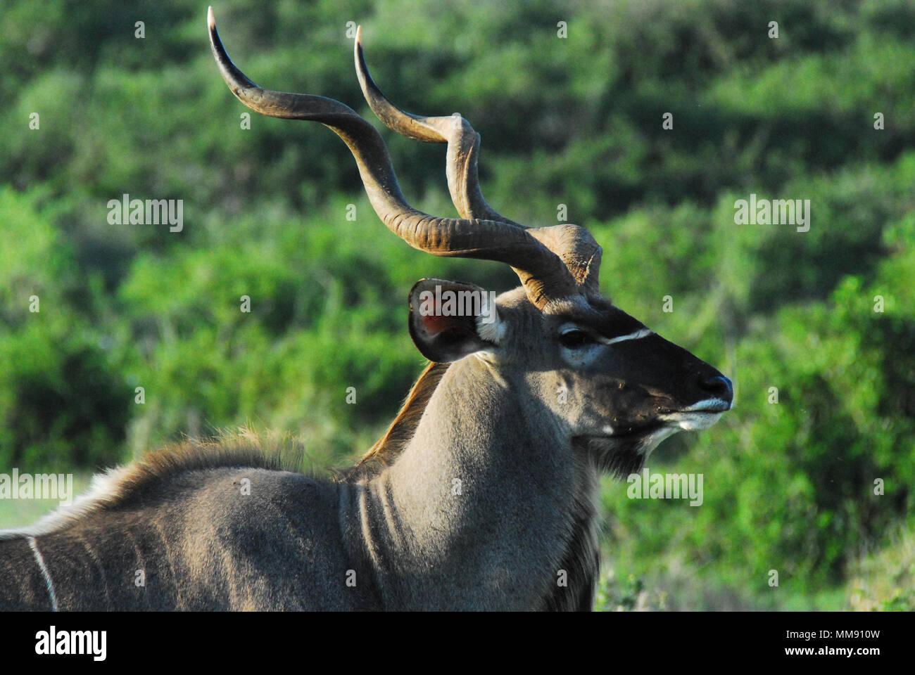 A beautiful wild Kudu Antelope encountered on safari in South Africa - Stock Image