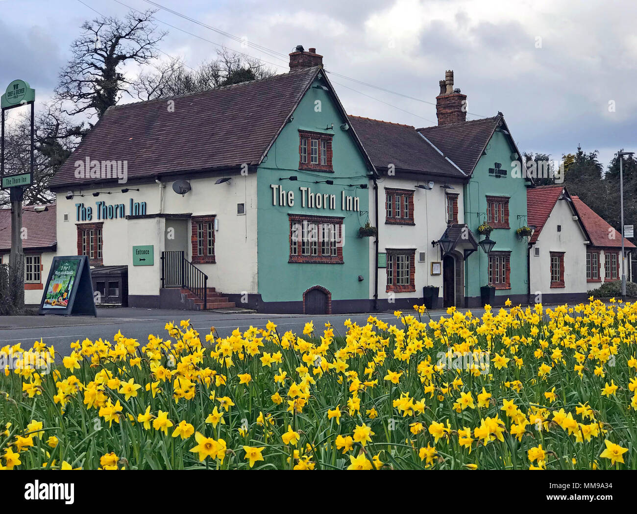 The Thorn Inn, Appleton Thorn, Warrington, Cheshire, England, UK with daffodils in spring - Stock Image
