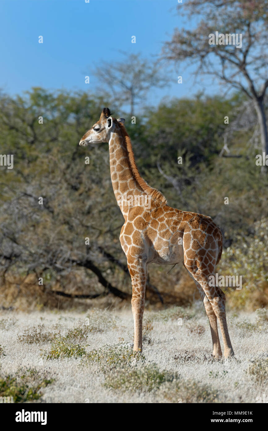 Angolan giraffe (Giraffa camelopardalis angolensis), young animal standing, motionless, Etosha National Park, Namibia, Africa - Stock Image