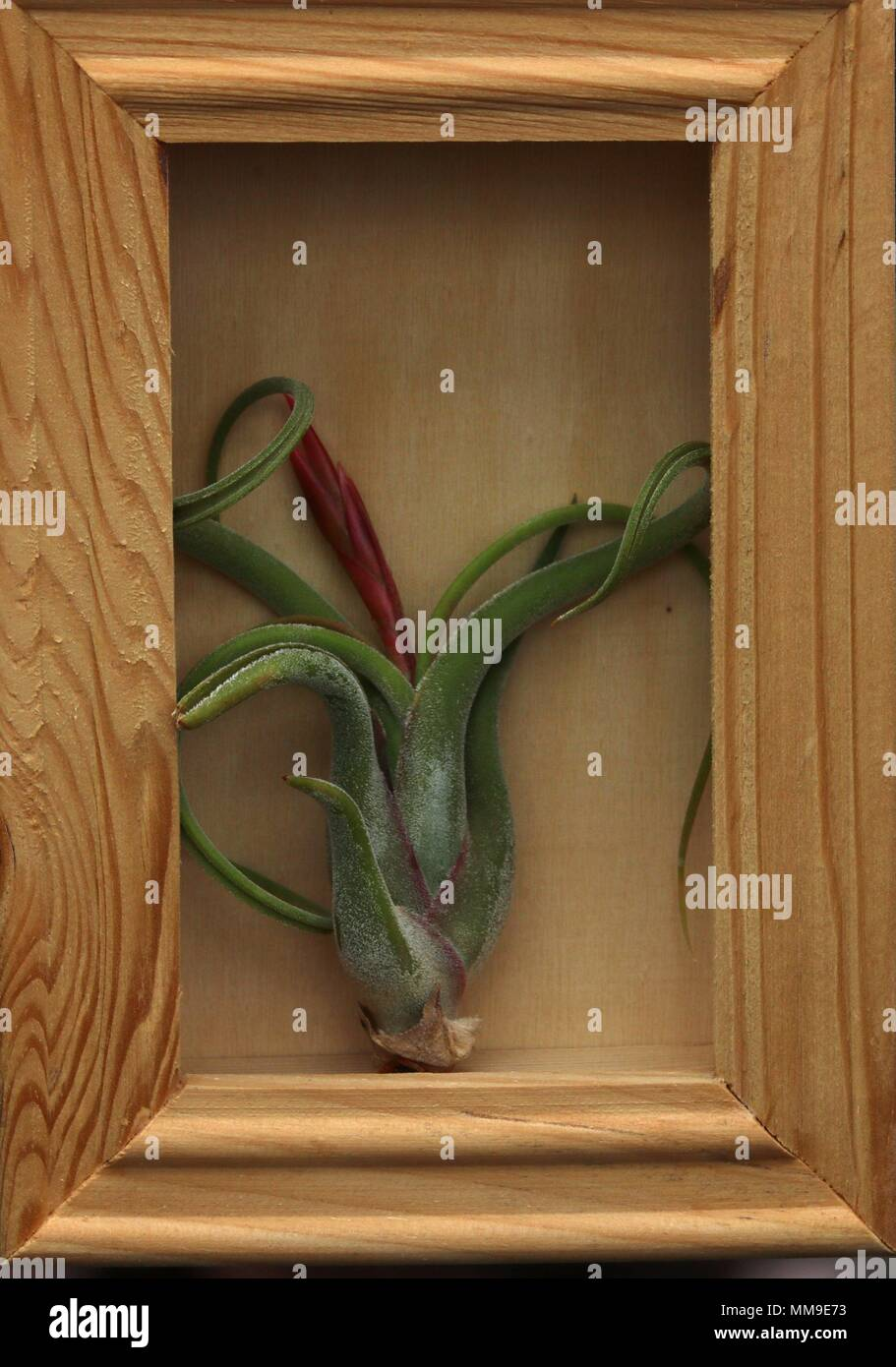 Medusa Air Plant in wood shadow box - Stock Image