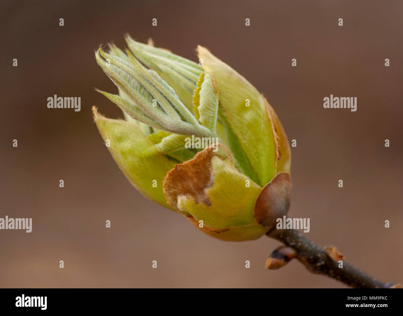 Bud - horse-chestnut tree (Aesculus hippocastanum) Stock Photo