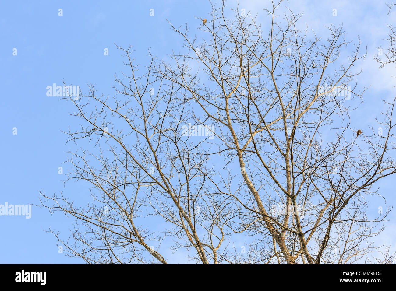 Fall tree is dying, sky and clound background beautiful scene in nature. - Stock Image