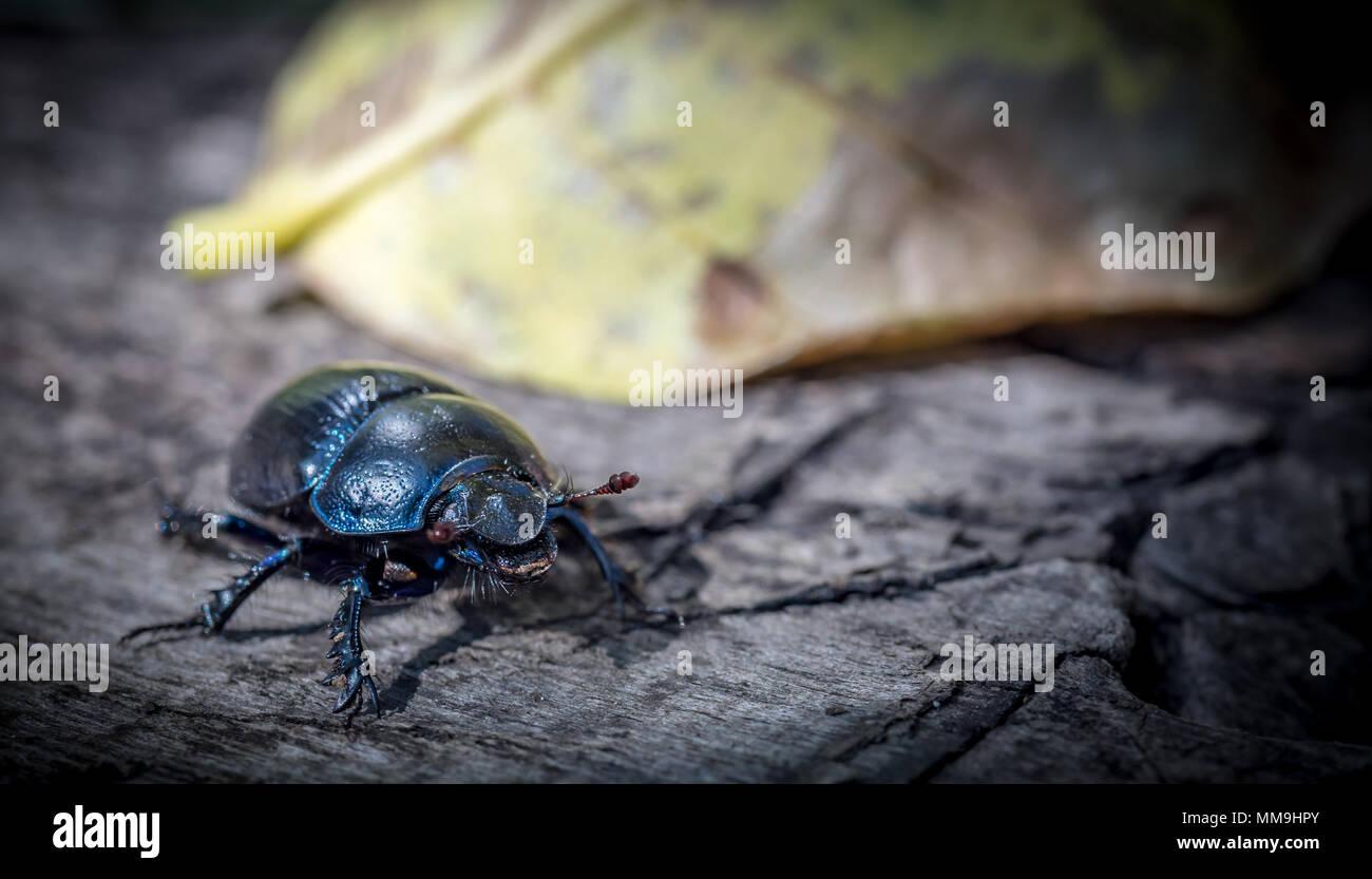 Beetle macro shot Stock Photo